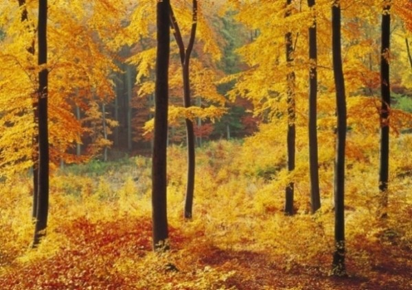 Autumn forest wall mural 8 012 for Autumn tree mural